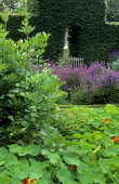 View to gate under clipped arch in hedge, nasturtiums, lovage