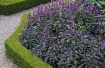 Salvia officinalis 'Purpurascens' in box-edged border