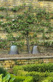 Espalier apple tree trained against stone wall, glass cloches