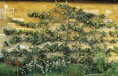 Espalier apple tree trained against stone wall underplanted with chives