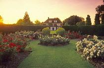 Rose garden, hybrid musk roses, Rosa 'Felicity', 'Wilhelm', 'Will Scarlet' and 'Penelope'