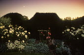 Rosa 'Moonlight' by moonlight, yew hedge