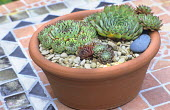 Sempervivums in terracotta container on mosaic table