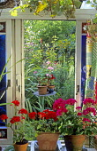 View from inside conservatory to garden outside, pelargoniums in containers