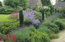 Border with roses, campanula, row of Irish yew