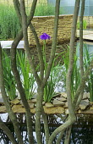Iris ensata, view through multi-stemmed Amelanchier lamarckii