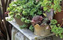 Containers with sempervivum, sedum and geranium on table