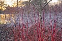 Cornus sanguinea 'Anny's Winter Orange', Betula utilis, Rubus phoenicolasius, Rubus cockburnianus, pagoda