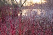 Cornus sanguinea 'Anny's Winter Orange', Betula utilis, Rubus phoenicolasius, Rubus cockburnianus
