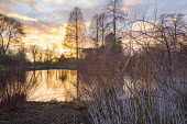 Pseudolarix amabilis by pond at sunset, Cornus sericea 'Baileyi'