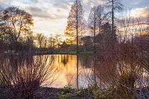 Reflections of Metasequoia glyptostroboides in pond at sunset, Cornus sericea 'Baileyi', pagoda