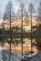 Reflections of Pseudolarix amabilis in pond at sunset
