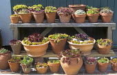 Collection of sempervivums in terracotta containers, dsplay on swooden staging, shelves