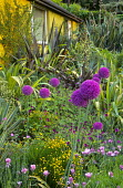 Border with osteospermum, geranium, santolina, Allium hollandicum, phormiums, cordylines and yuccas, house