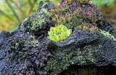 Sempervivum tectorum on tree stump