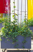 Planter on castor wheels, movable screens, Thunbergia alata