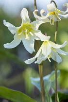Erythronium californicum 'Margaret Mathew'