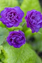 Primula 'Bon Accord Purple'