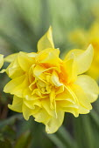 Narcissus 'Golden Phoenix'