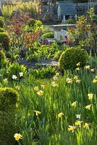 Narcissus in spring garden, roses, clipped box balls, Tulipa 'Negrita'