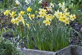 Narcissus 'Bath's Flame' in raised bed