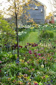 Spring garden, Helleborus x hybridus, Hamamelis x intermedia 'Aphrodite', view to shed, bench overlooking daffodils in meadow