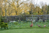 Spring garden, naturalised daffodils, duck ornaments in long grass, wooden bench by stone wall