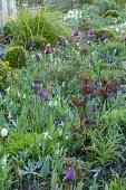 Tulipa 'Negrita' and peony foliage in spring border