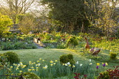 Spring garden, naturalised daffodils, duck ornaments in long grass, view to potager