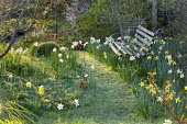 Rustic bench amongst daffodils in long grass meadow, mown path through lawn