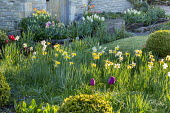 Narcissus naturalised in spring garden, tulips in containers