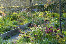 Raised beds in spring garden, Helleborus x hybridus, Hamamelis x intermedia 'Aphrodite'