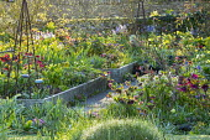 Raised beds in spring garden, Helleborus x hybridus, Hamamelis x intermedia 'Aphrodite', metal obelisks, stone wall