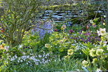 Spring border with hellebores, Anemone nemorosa, primroses and bluebells beneath Chimonanthus praecox, dry-stone wall