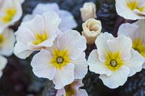 Primula vulgaris 'Drumcliffe'