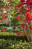 Bougainvillea climbing over pergola, Pittosporum tobira hedges