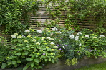 Hydrangea macrophylla 'Madame Emile Mouillère' in raised bed, Erysimum 'Bowles' Mauve', euphorbia, rose