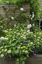 Hydrangea macrophylla 'Madame Emile Mouillère' in raised bed, Erysimum 'Bowles' Mauve', rose