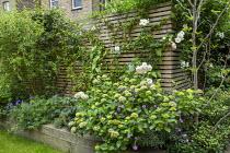 Timber raised bed, Hydrangea macrophylla 'Madame Emile Mouillère', Geranium 'Johnson's Blue', euphorbia, Erysimum 'Bowles' Mauve'