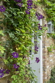 Clematis 'Étoile Violette' climbing on wall by front door