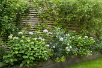 Hydrangea macrophylla 'Madame Emile Mouillère', Erysimum 'Bowles' Mauve', euphorbia, rose