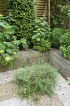 Taxus baccata columns, Hebe rakiensis and Hydrangea arborescens 'Annabelle' in timber raised bed, Lavandula angustifolia 'Hidcote', Erigeron karvinskianus