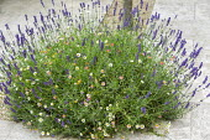 Lavandula angustifolia 'Hidcote', Erigeron karvinskianus