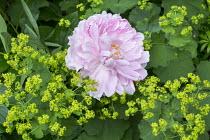 Rosa, Alchemilla mollis