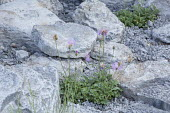 Centaurea bella in rock garden