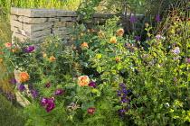 Dry-stone wall, Rosa 'Lady of Shalott', Cosmos bipinnatus 'Click Cranberries'