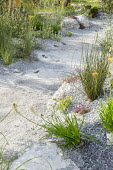 Path through drought-tolerant garden, Bulbine frutescens 'Hallmark'