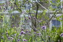 Verbena macdougalii 'Lavender Spires' and Verbena bonariensis
