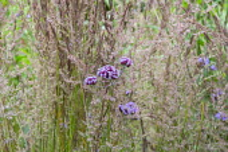 Verbena bonariensis, Calamagrostis x acutiflora 'Karl Foerster'