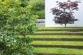 Grass steps with cor-ten steel risers, Acer palmatum against house wall, Amelanchier lamarckii